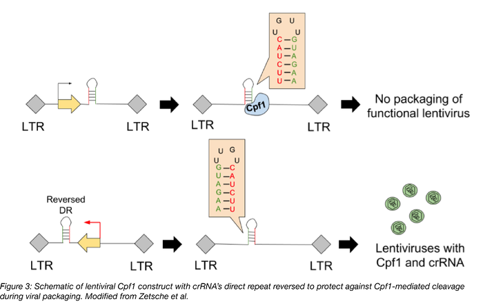 Schematic of lentiviral Cpf1 construct with crRNA's direct repeat reversed to protect against Cpf1-mediated cleavage during viral packaging