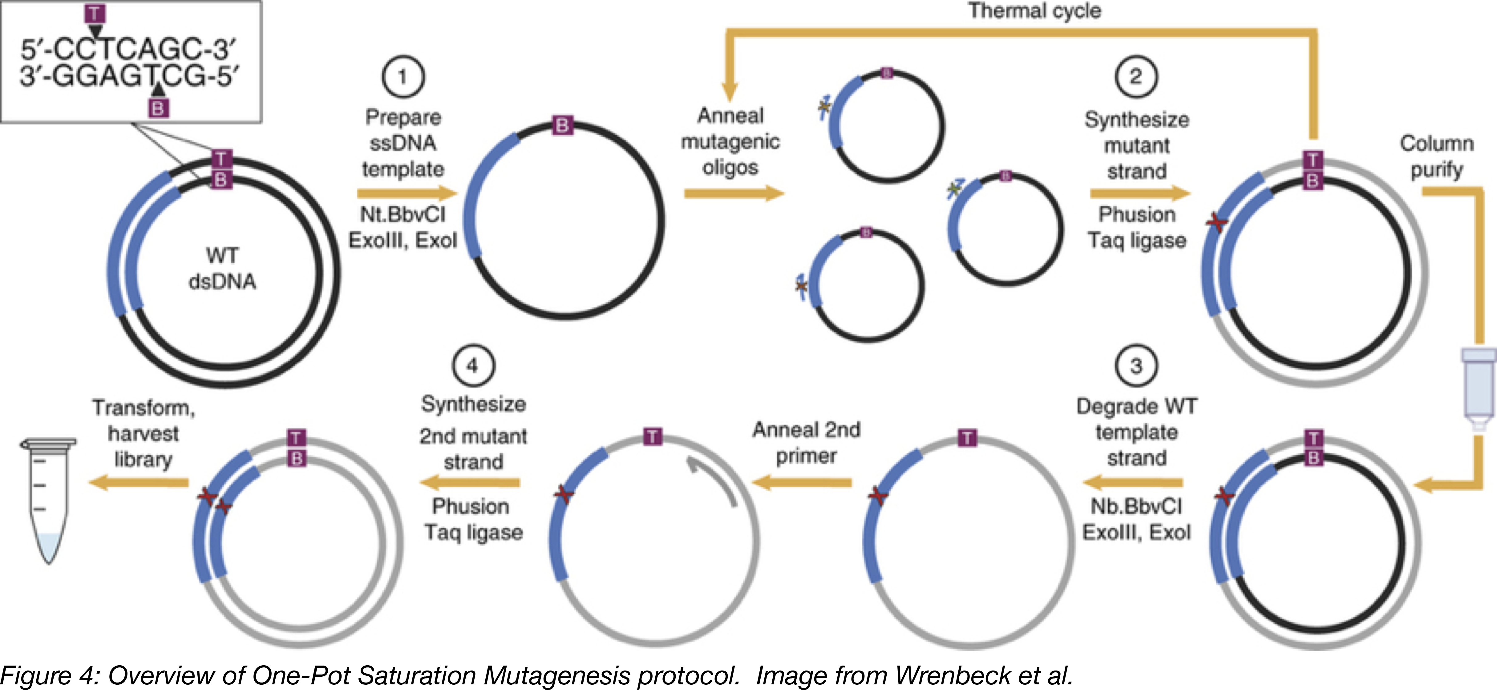 One Pot Saturation Mutagenesis Overview.png