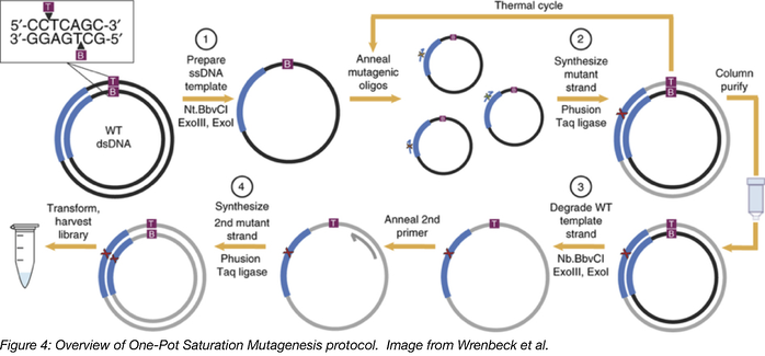 One Pot Saturation Mutagenesis Overview