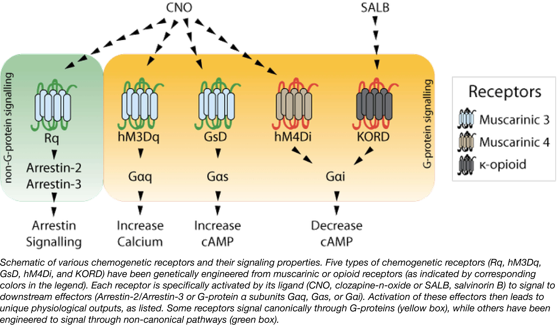 Chemogenetic Receptors.png