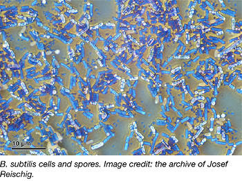 B subtilis cells and spores