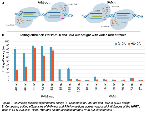 Schematic of PAM-out and PAM-in gRNA design. In PAM-out, the PAM sites are on extremes of targeted regions and for PAM-in, the PAM sites are closer together in the middle of the targeted region. Below the schematic is a graph of editing efficiencies for PAM-in and PAM-out editing that shows PAM-out design is more efficient.