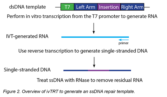 overview of ivTRT to generate an ssDNA repair template