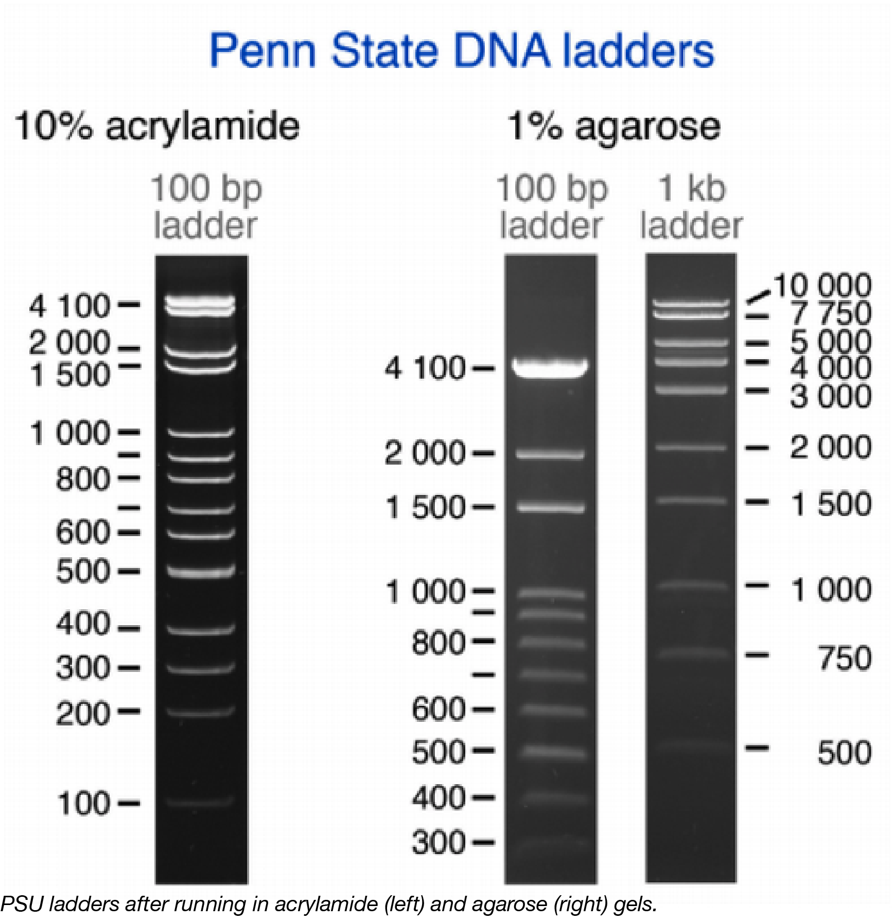 Penn State DNA Ladders