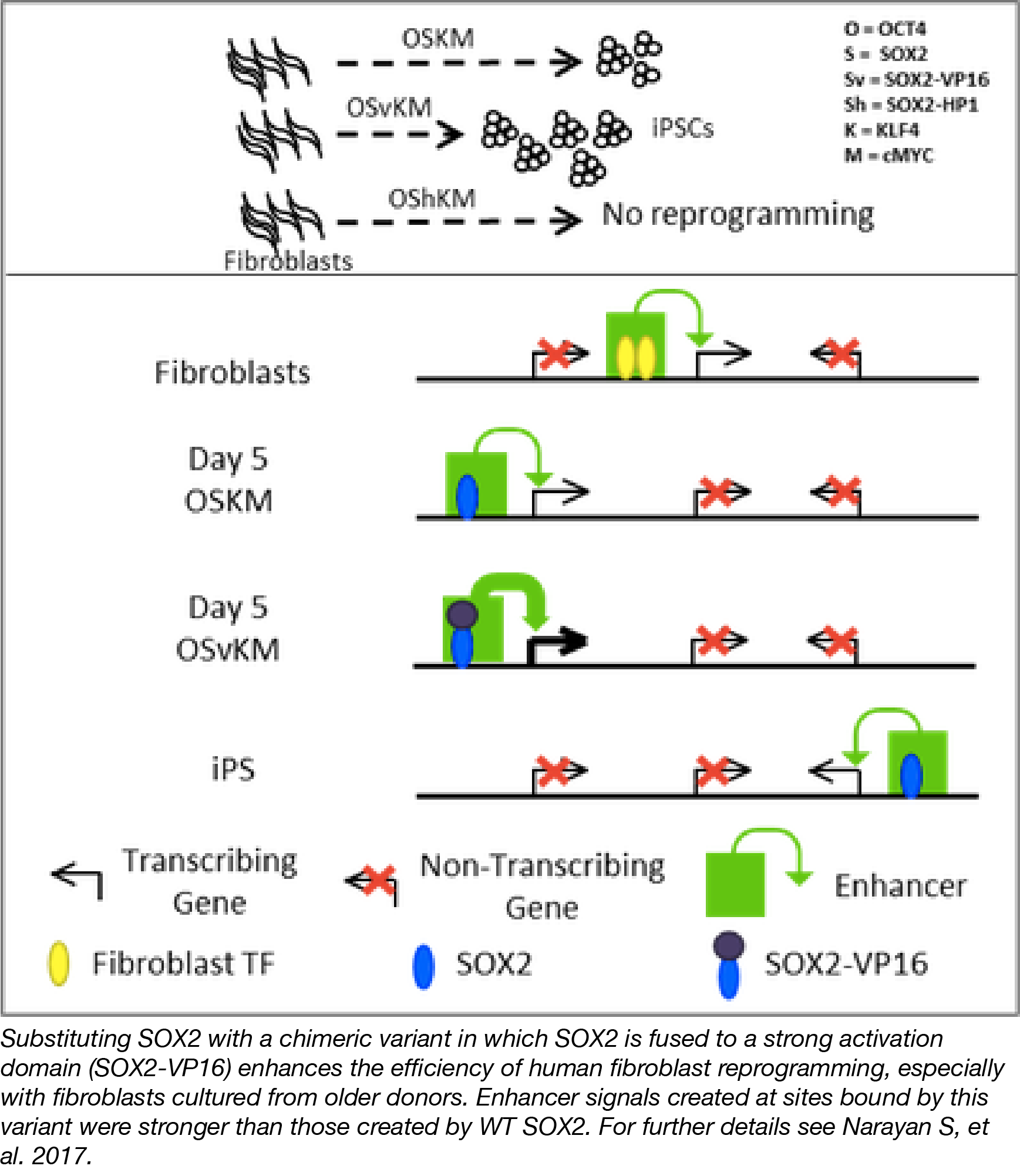 Transcription Factor Fusions for iPSC Reprogramming
