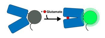 iGluSnFr fluoresces with glutamate binding