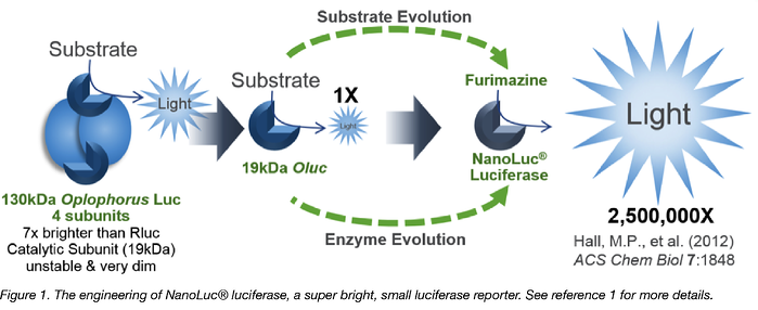 engineering of NanoLuc luciferase