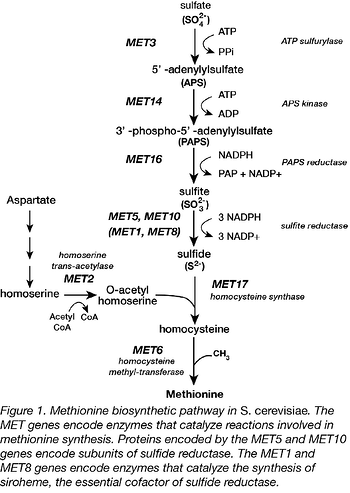 Methionine biosynthesis pathway in s. cerevisiae