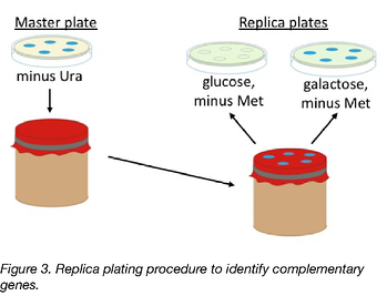 Replicating procedure for complementation