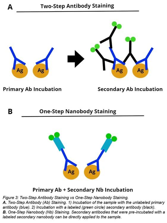 two-step antibody staining versus one-step nanobody staining
