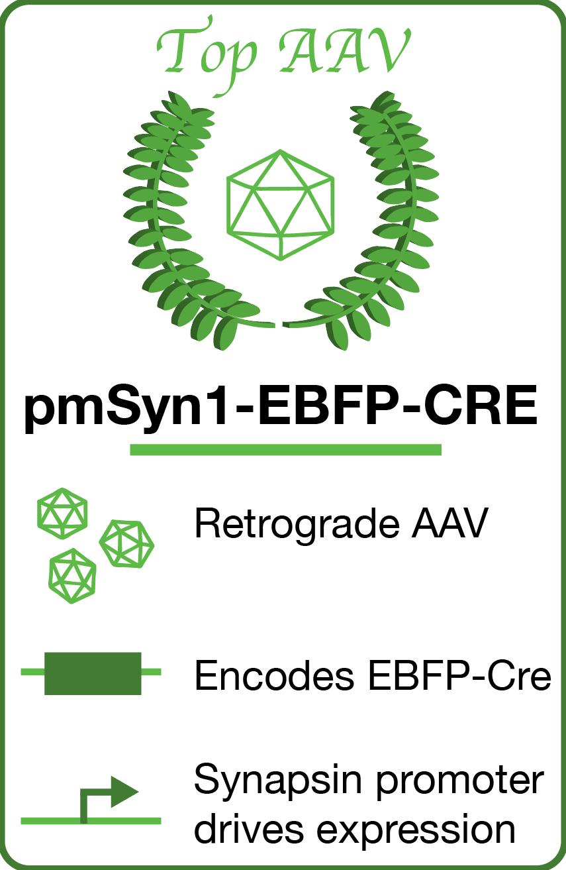 Top AAV 2017 Banner pmSyn1-EBFP-CRE