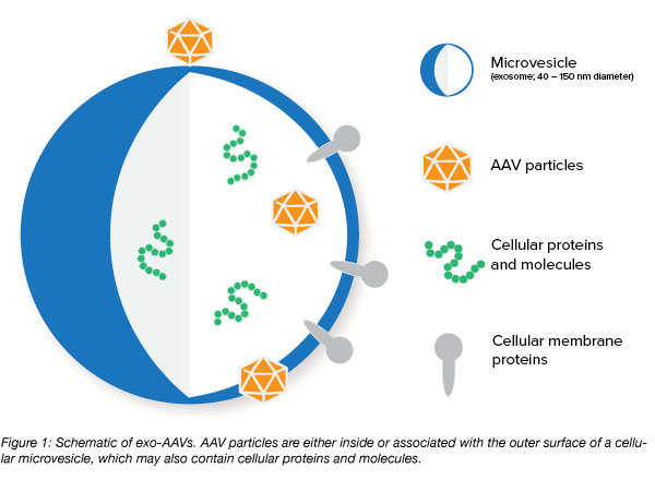 exosome AAV diagram