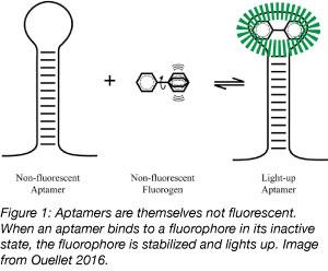 aptamer fluorophore binding