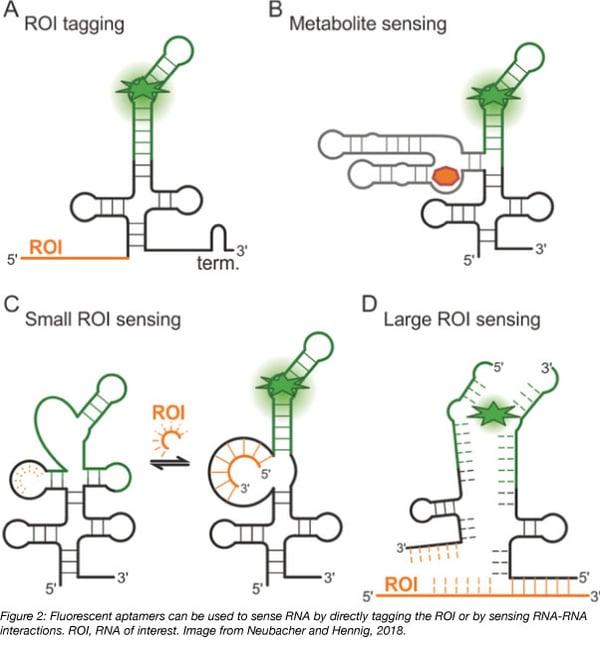 tagged RNA fluorescent aptamer