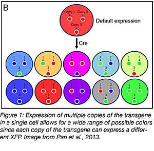 brainbow transgene expression labels cells in many colors