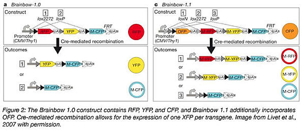 brainbow 1.0 and 1.1 uses cre recombination