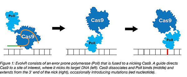 EvolvR consists of an error prone polymerase fused to a nicking Cas9