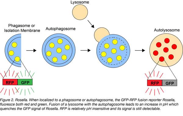 Rosella autophagy biosensor