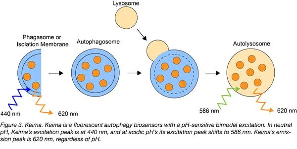 Keima autophagy biosensor