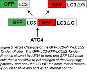ATG4 cleavage of GFP-LC3-RFP-LC3deltaG tandem probe