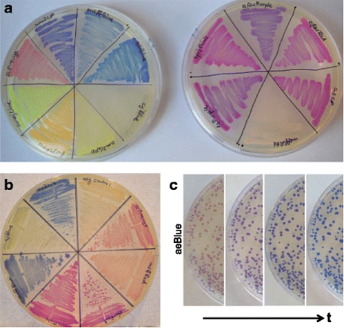 Chromoprotein expression from bacteria on agar plate