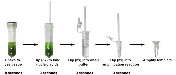 steps for purifying DNA using a cellulose dipstick