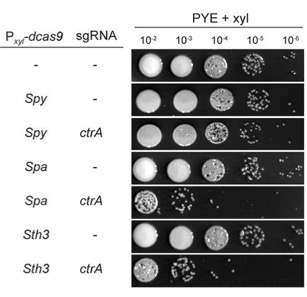 Serial dilutions of CRISPRi in Caulobacter cells for ctrA gene expression using various dCas9