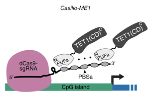 Casilio-ME methylation system