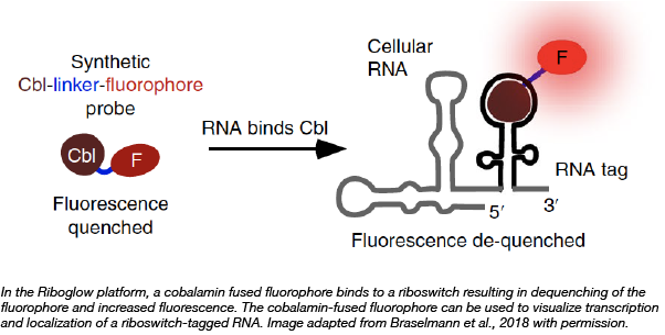 Riboglow RNA production localization