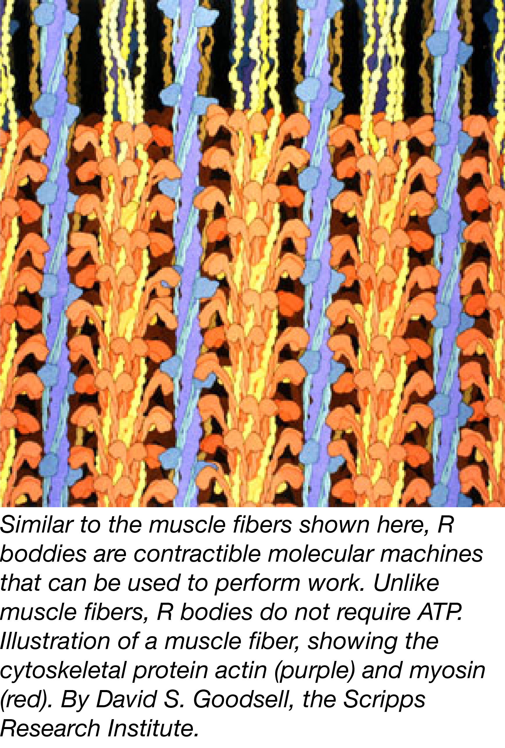 2016_4_11_R_Body_Muscle_Fiber_JessicaPolka.png