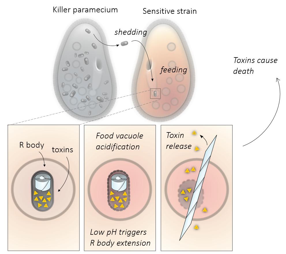 R_body_image_4_-_paramecium.png