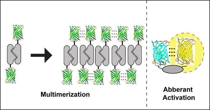 GFP multimerization