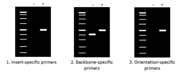 Colony PCR Agarose Gels