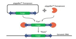 PiggyBac Transposon Intergrating into the Genome