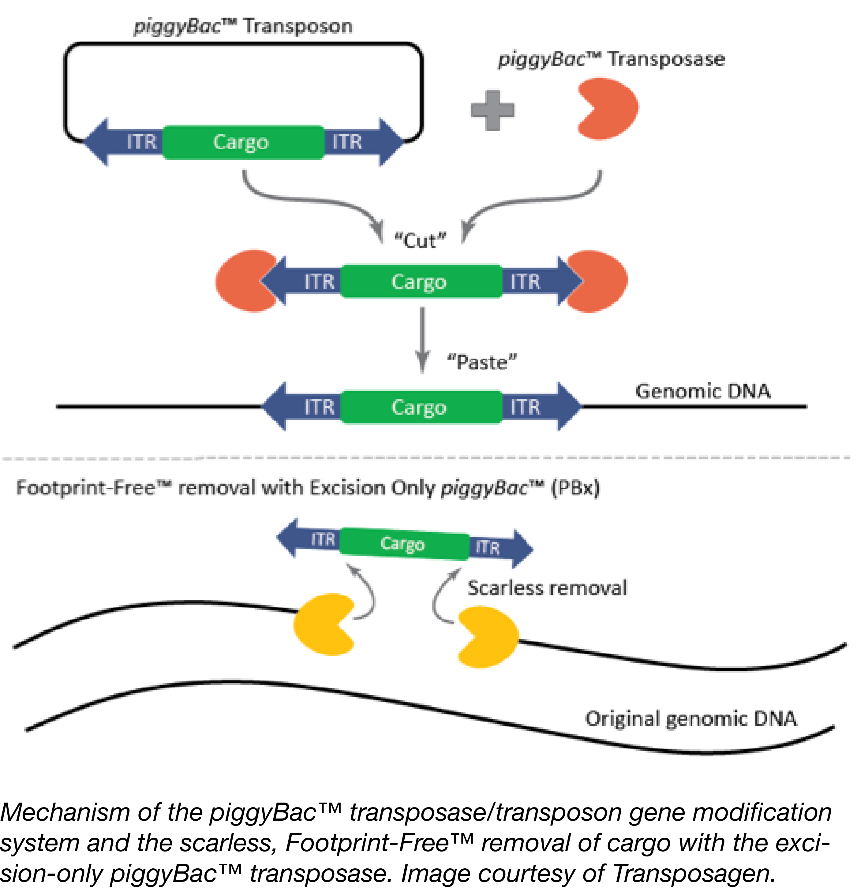 paggyBac transposon integration and removal