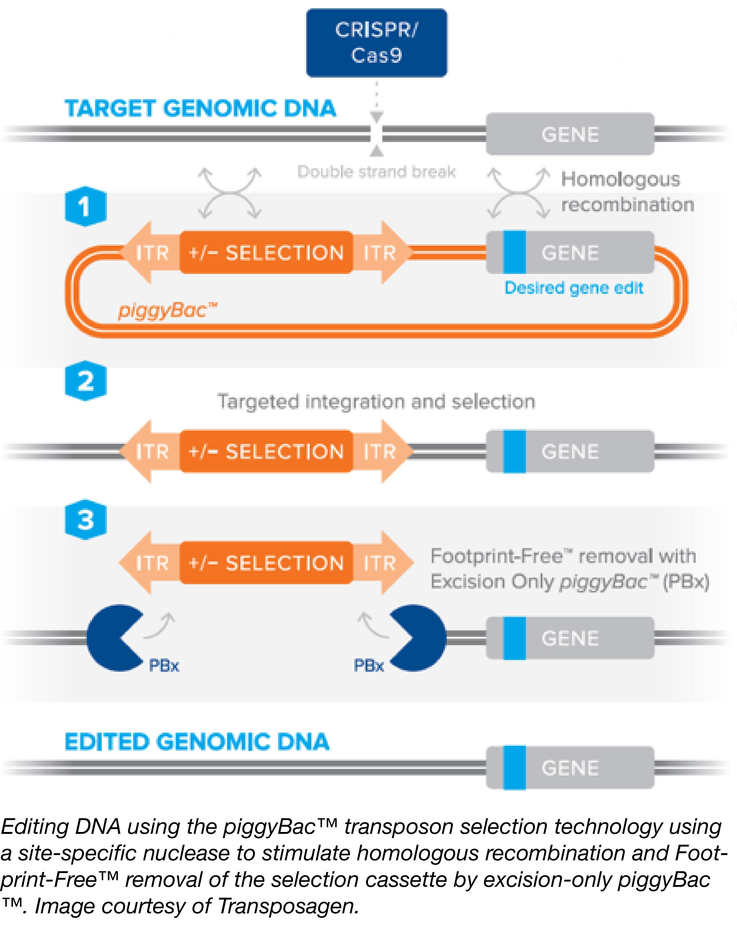 Using piggyBac for enhanced CRISPR genome editing
