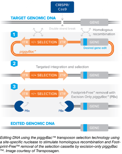 Using piggyBac for enhanced CRISPR genome editing