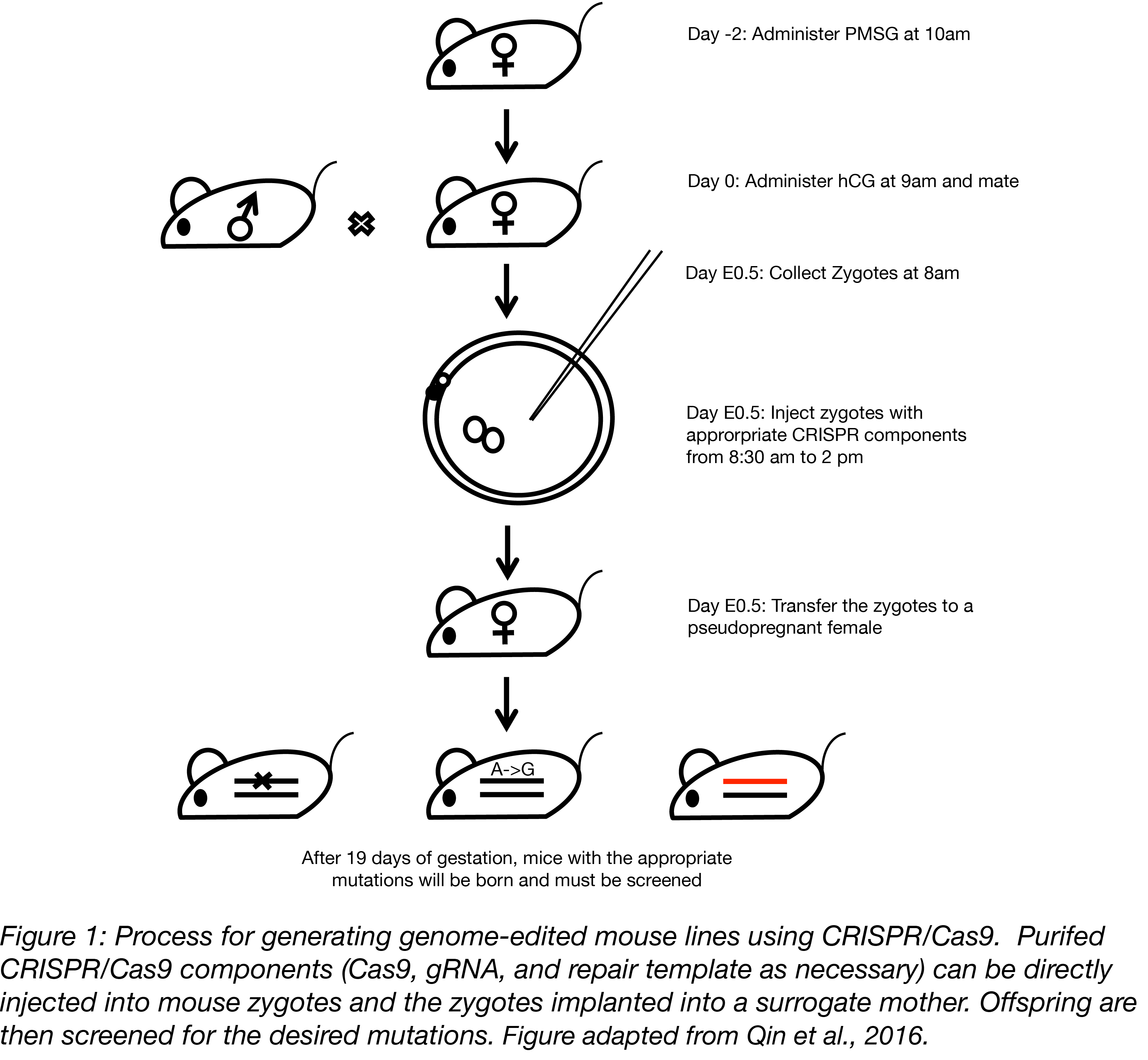 Mouse genome editing process with CRISPR/Cas9