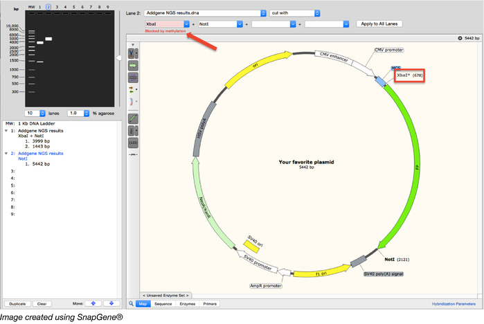 methylation and restriction enzymes snapgene map