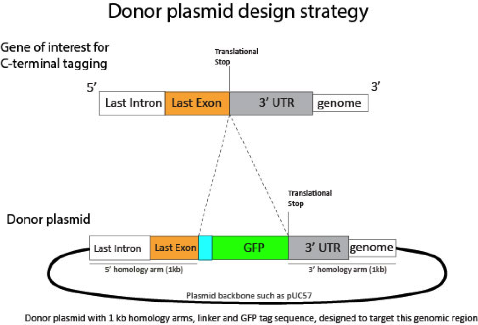 Donor Plasmid Design.png