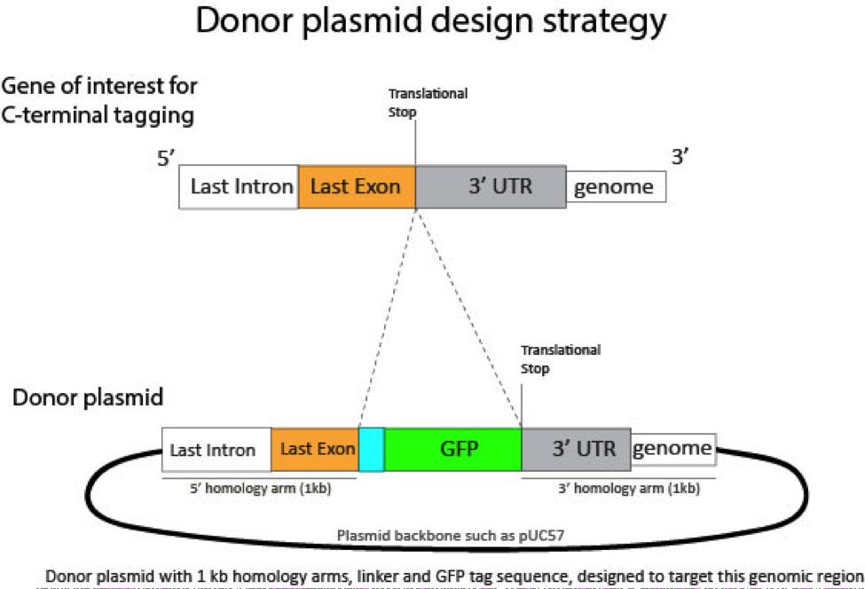 Donor Plasmid Design.png