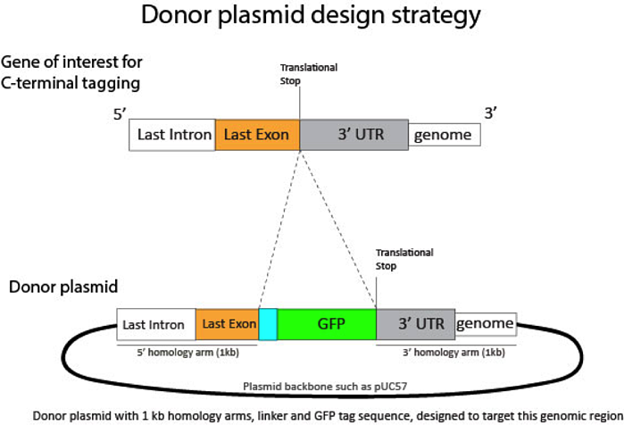 Donor Plasmid Design