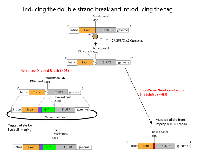 Strategy for inducing double strand break and introducing the tag