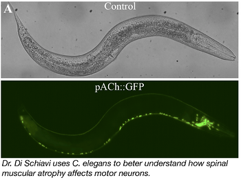 Using C. elegans to study spinal muscular atrophy