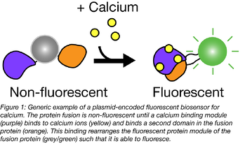 Addition of calcium to a fluorescent biosensor causes it to fluoresce