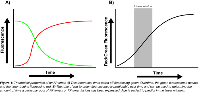 theoretical properties of a fluorescent protein timer