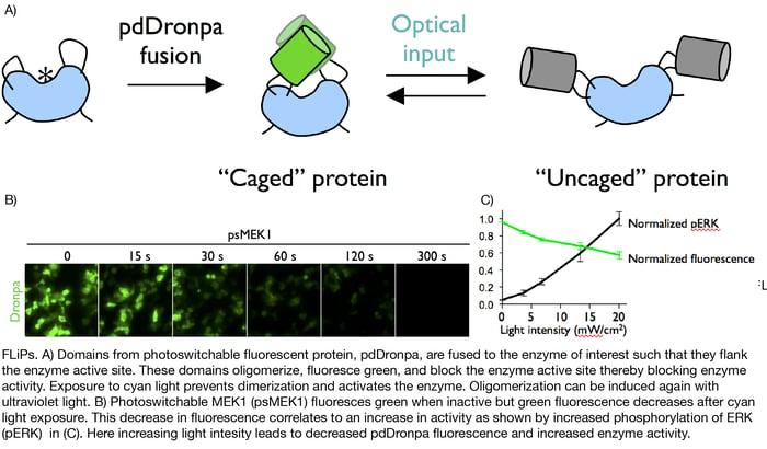 FLiP Fluorescent Light-inducible protein