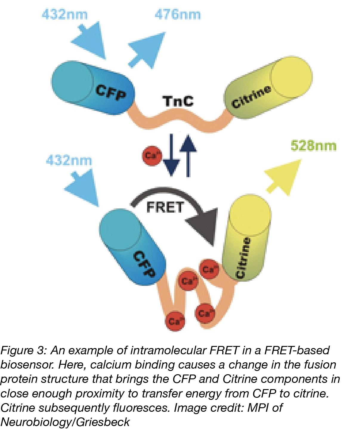 Intramolecular FRET Biosensor