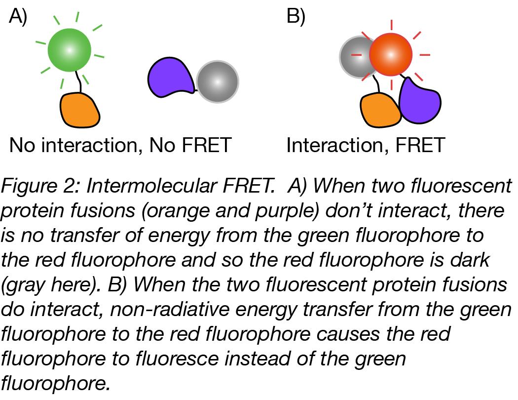 intermolecular FRET-02.png