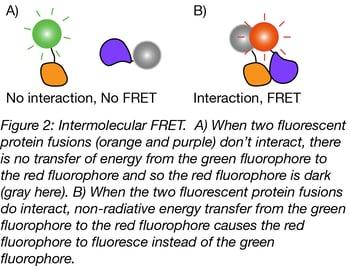 Intermolecular FRET Biosensor